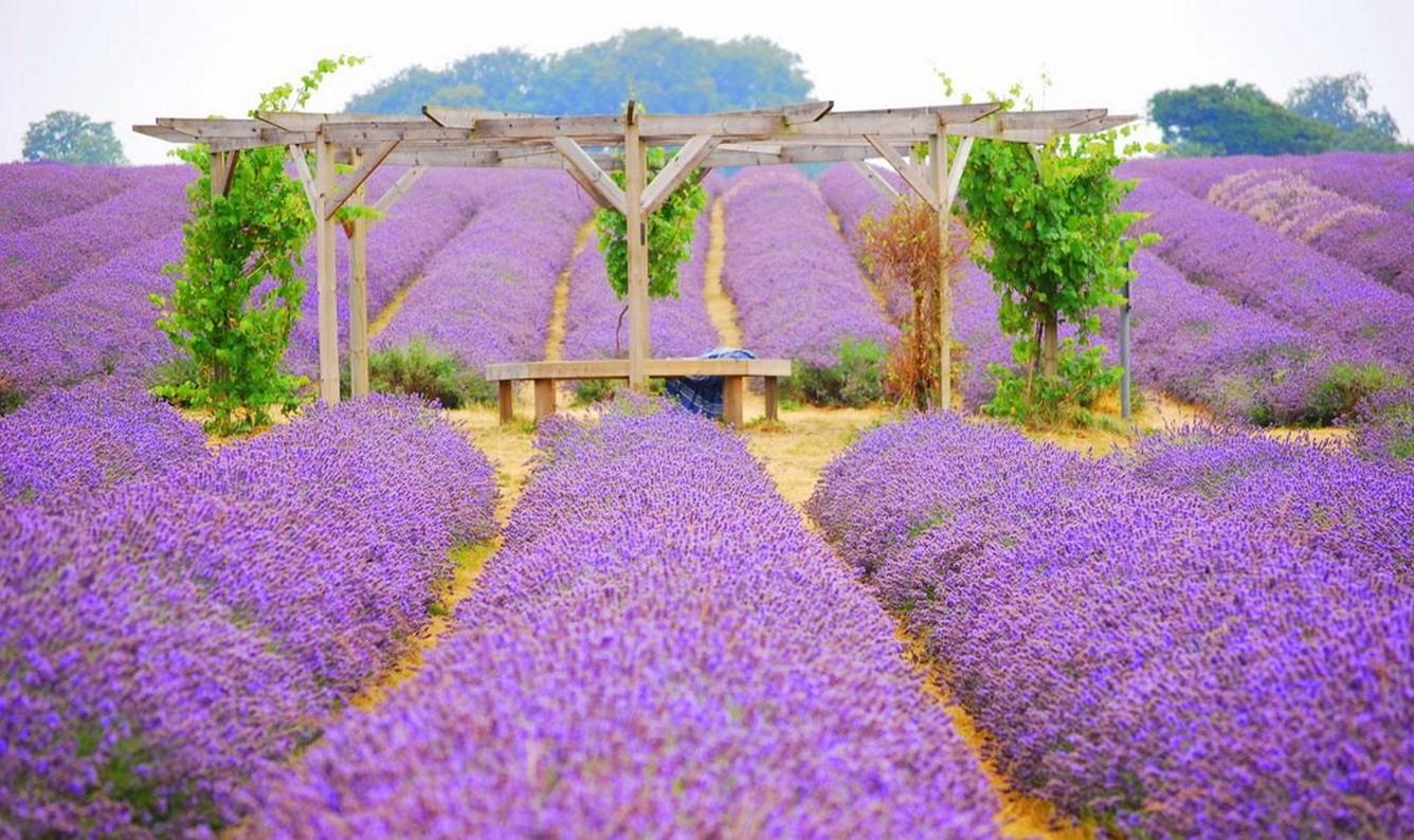Cánh đồng hoa Lavender ở Mayfield nước Anh.